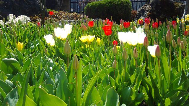 M様の庭に咲いていたチューリップです。施工中癒されました。